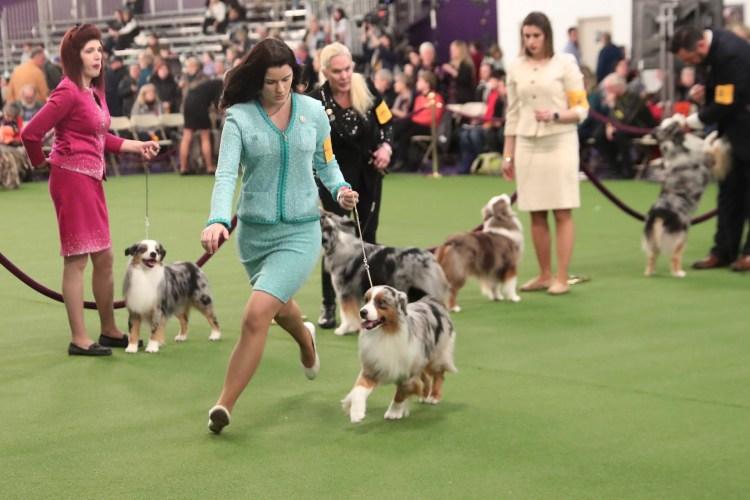 Un manejador corre con una raza de Pastor Australiano Miniatura, durante el juicio de la 143a Exposición Canina del Westminster Kennel Club en Nueva York (Foto: REUTERS / Shannon Stapleton)
