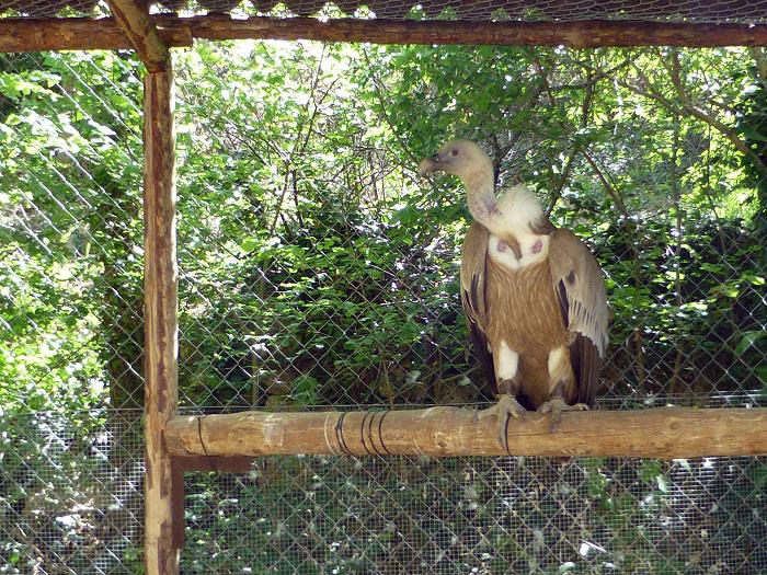 buitre leonado del parque natural del monasterio de piedra