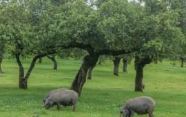 cerdos-comiendo-dehesa-extremena