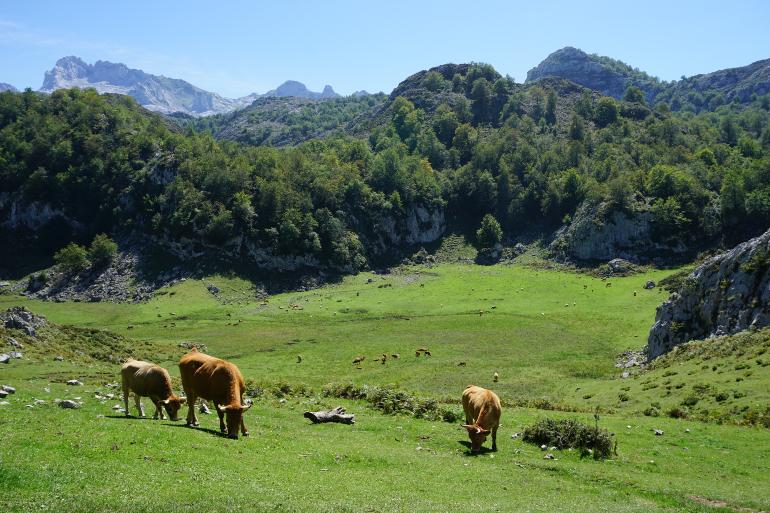 vega bricial con vacas pastando