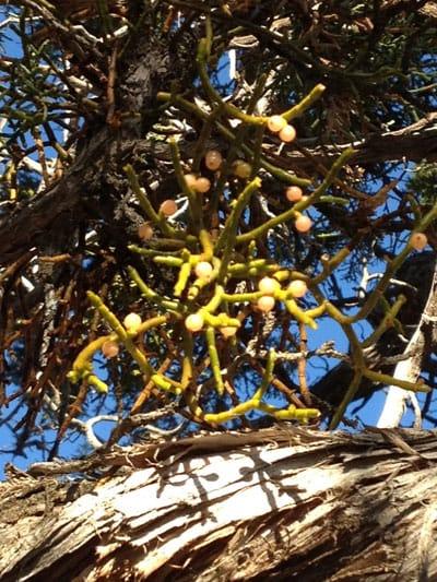 Dwarf mistletoe on Juniper