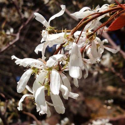 serviceberry flowers
