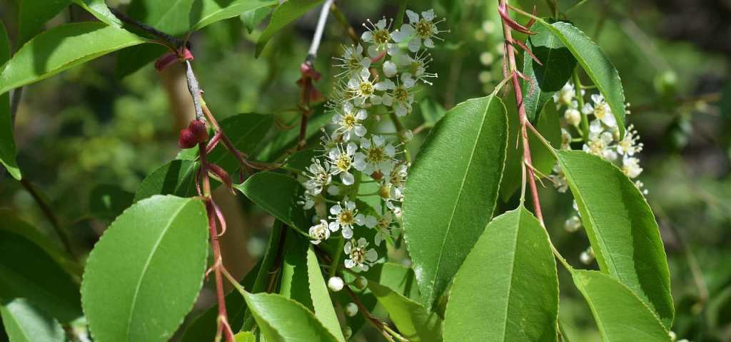 chokecherry flowers and leaves