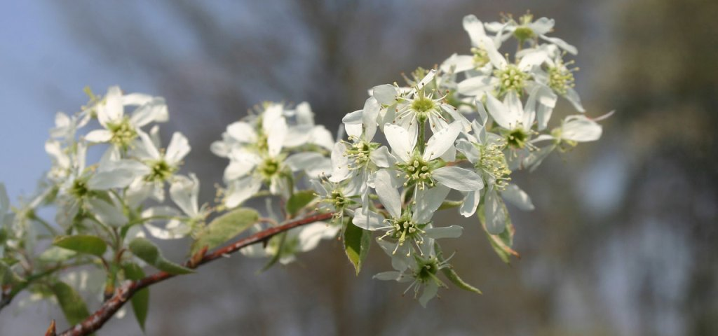 serviceberry flowers