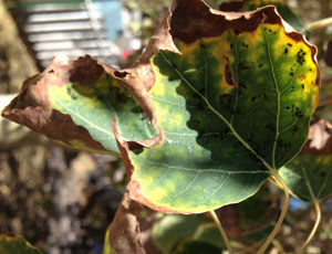 leaf curl from aphids