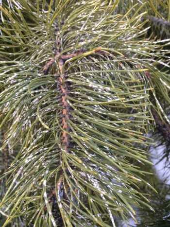 Pine needle scale on pine