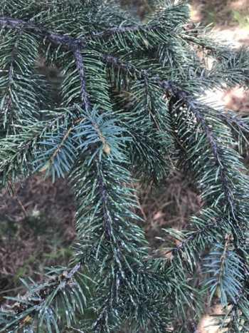 Pine needle scale on spruce