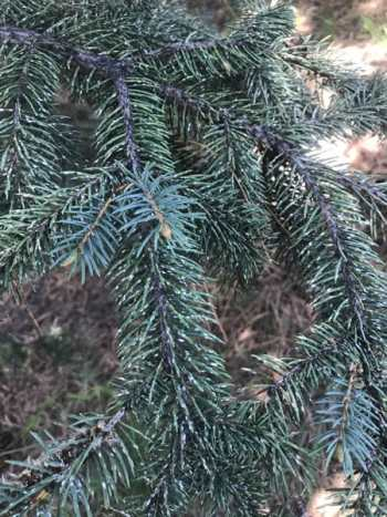Pine needle scale on spruce