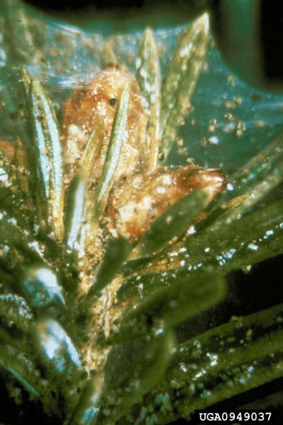 spruce spider mite - image by USDA Forest Service - Region 4 - Intermountain , USDA Forest Service, Bugwood.org
