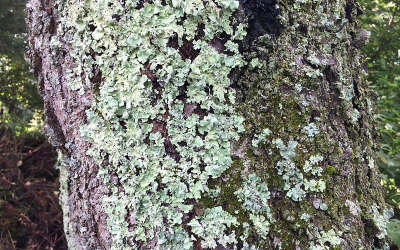 lichen covering tree trunk