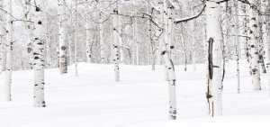frost crack aspen