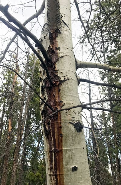 bleeding aspen from holes made by poplar borers