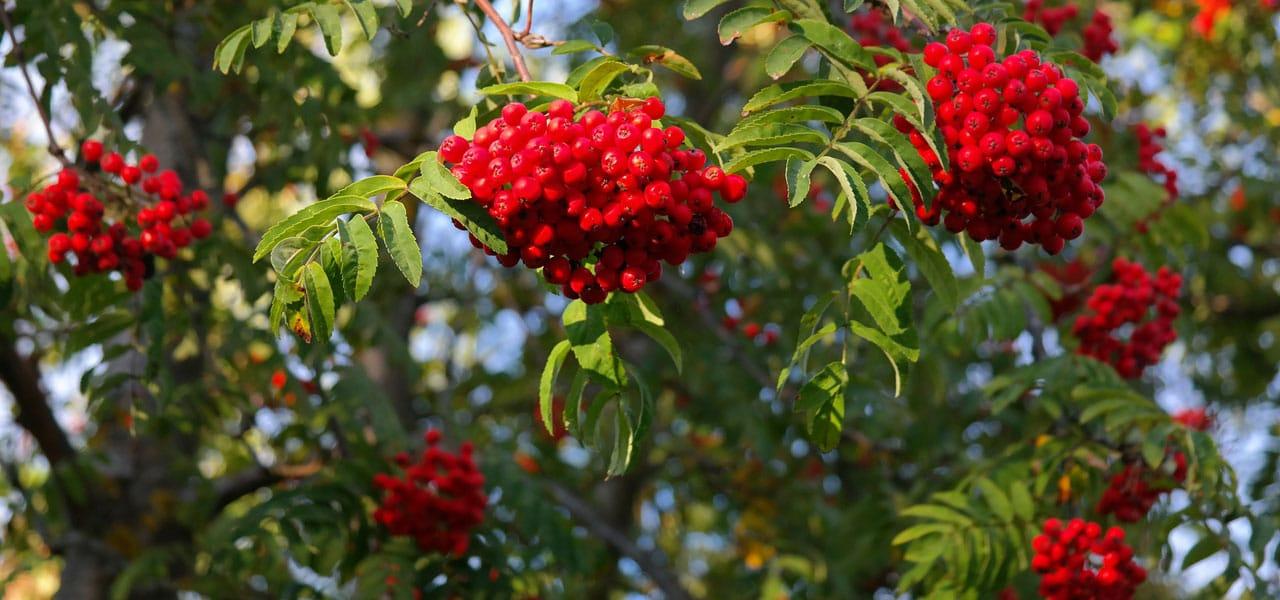 mountain ash fruit on tree