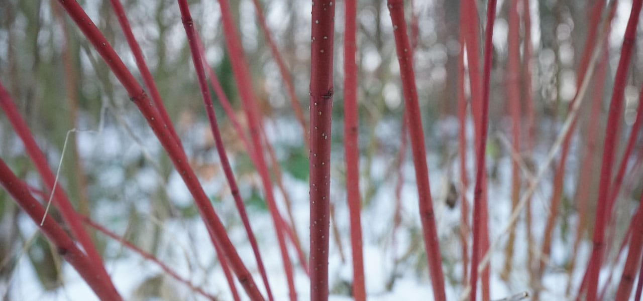 red dogwood stems against snow
