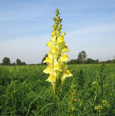 Yellow toadflax (<em>Linaria vulgaris</em>)