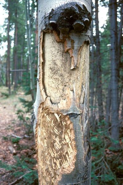 elk damage to aspen tree