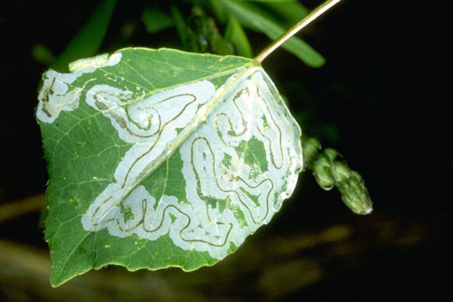 aspen leafminer damage on a quaking aspen leaf