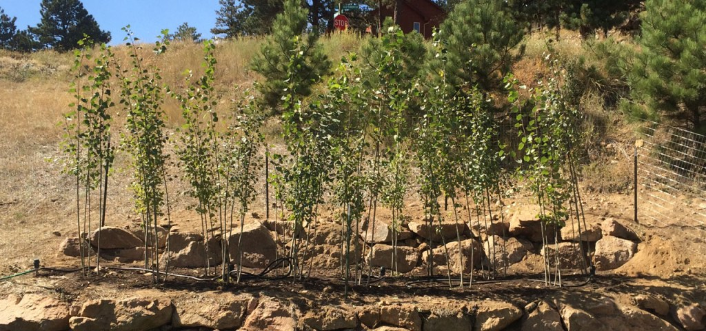 newly planted aspen trees