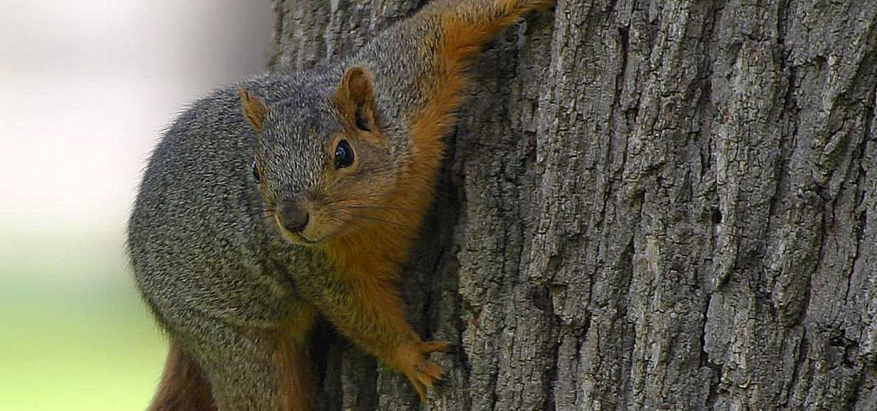 squirrels on tree in Evergreen Colorado area can damage trees