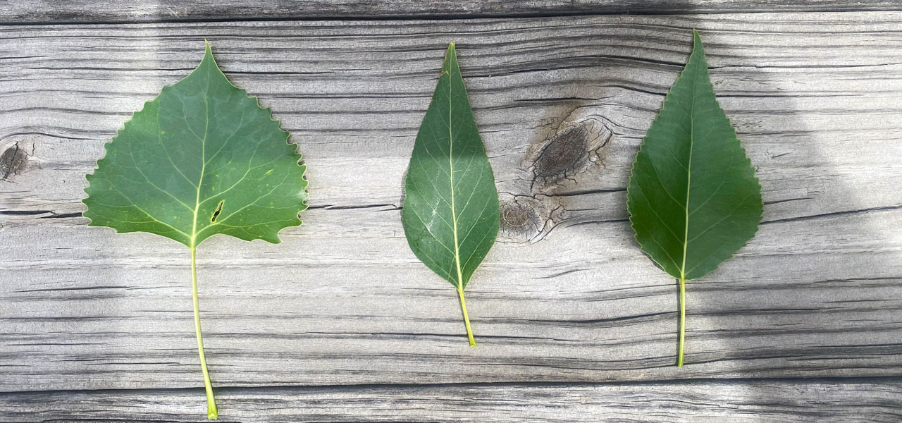 Plains cottonwood leaf, narrowleaf cottonwood leaf, and lanceleaf cottonwood leaf with wooden background in Evergreen, Colorado