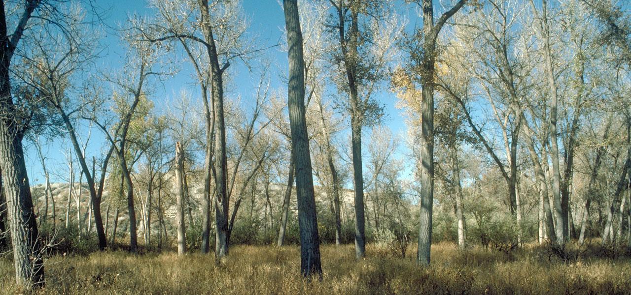 Plains cottonwood trees in Colorado