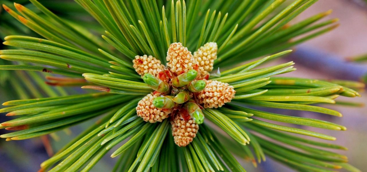 Needles on a limber pine