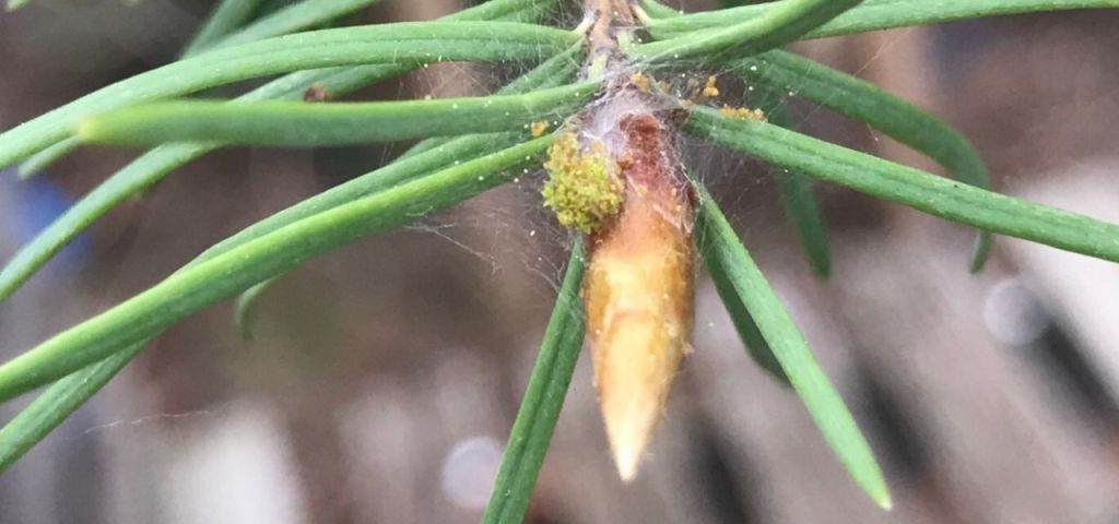 Signs of spruce budworm infestation on a tree in Evergreen, Colorado.