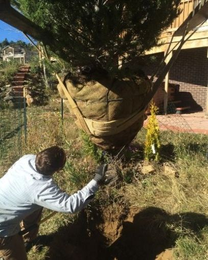 LAM Tree Service employee removes the basket from a conifer tree about to be planted.