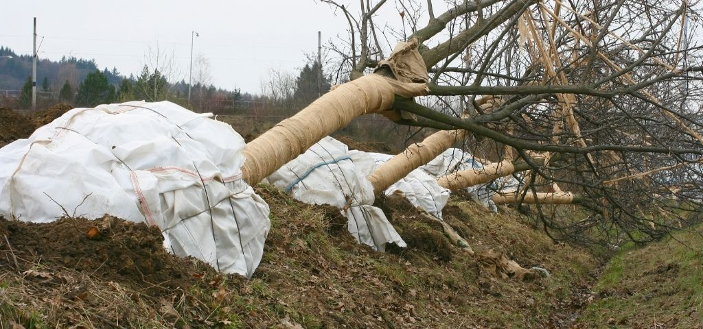 Deciduous trees' roots are wrapped before being transported.
