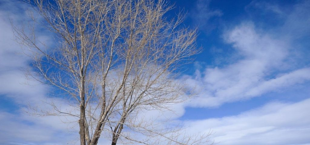 A deciduous, leafless tree in Colorado against a blue sky with clouds.