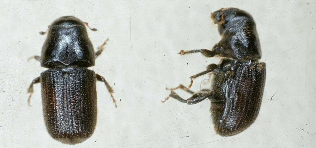 Top and side view of adult mountain pine beetles.