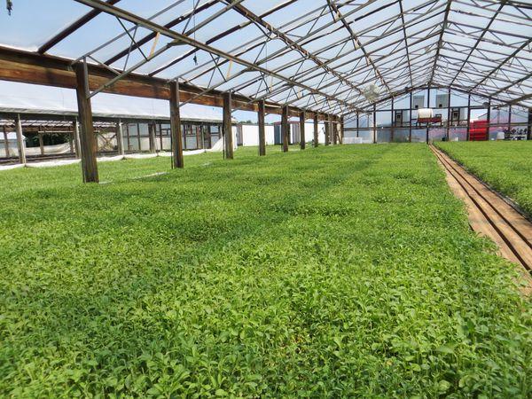 Plántulas de stevia producidas en un sistema de invernadero con bandejas flotantes.