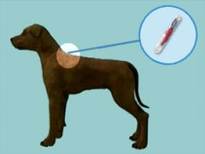 Illustration of dog and where the microchip goes between the shoulder blades.