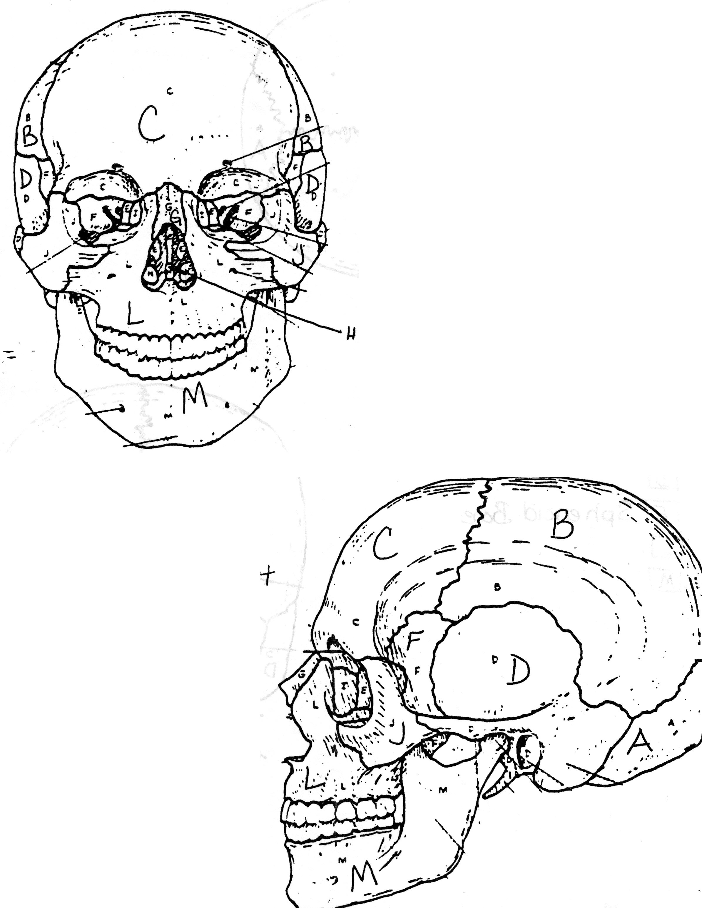Skull Anatomy Coloring Pages Coloring Pages