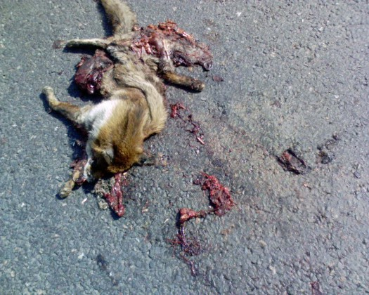 Fox Road Kill