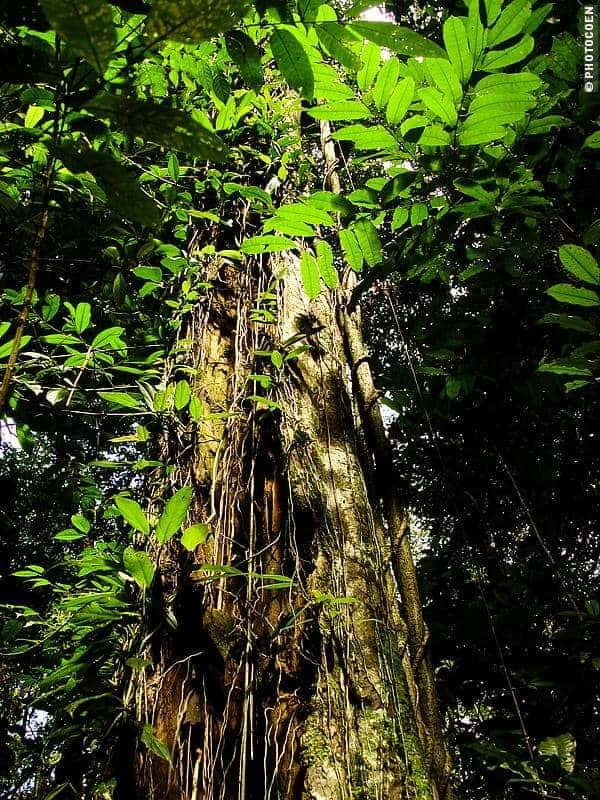 Tree in French Guiana's Rainforest (©photocoen)