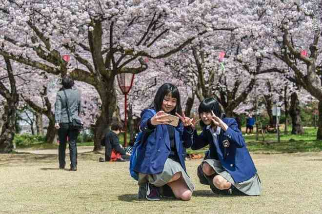 Hanami in Japan, 2 schoolgirls are taking selfies in front of flowering cherry blossom trees