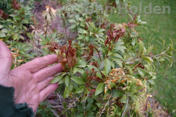 Pieris japonica - Japanese Pieris Frost Damage