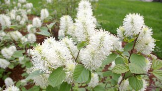 Dwarf Fothergilla in Full Bloom