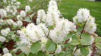 Dwarf Fothergilla in Full Bloom