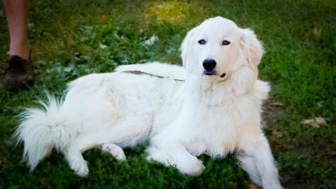 Theo the Great Pyrenees Mix Pupply