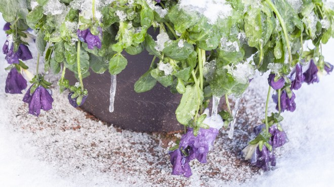 Pansy (Viola sp.) Covered in Ice