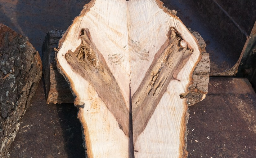 Maple Tree Calloused Wound