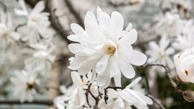 Star Magnolia Flowers Magnolia Stellata flowers