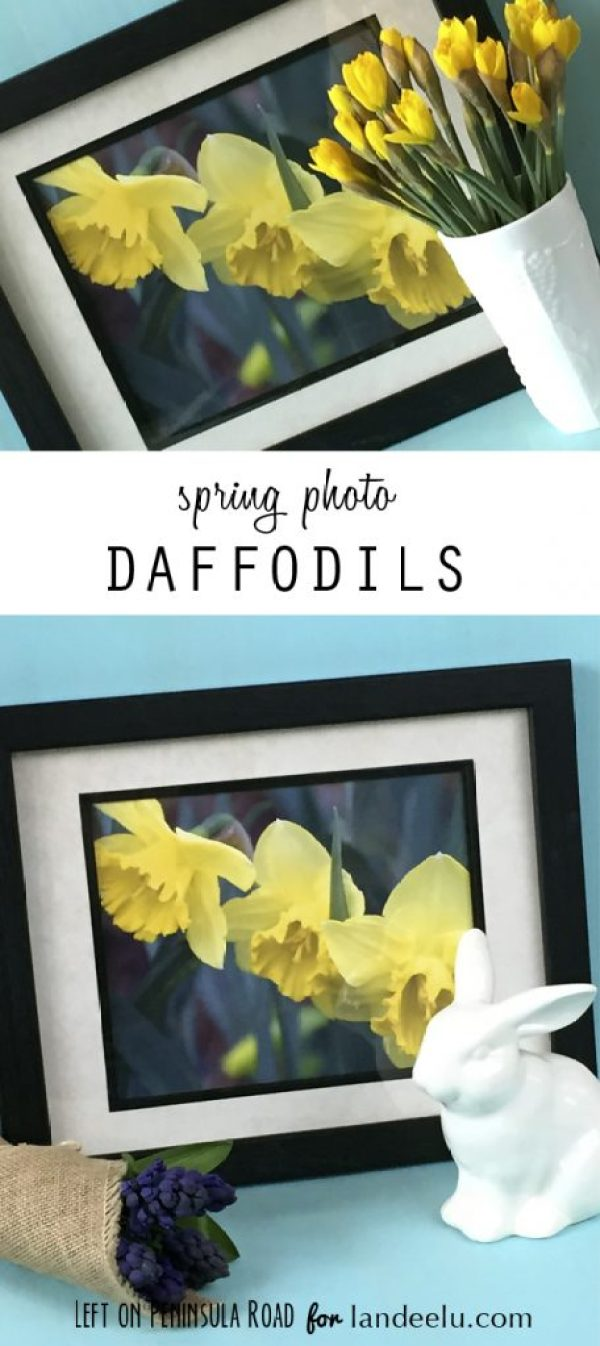 Spring Daffodils photo display ideas