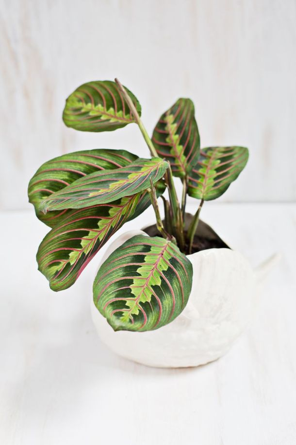 Prayer Plant (Also Called Rabbit's Tracks) | A Beautiful Mess