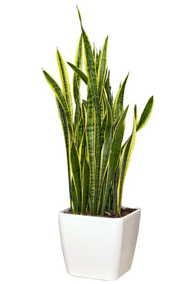 Sanseveria (aka the Mother-in-Law's Tongue) | Apartment Therapy