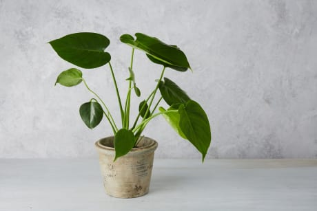 Small Monstera House Plant | Trouva