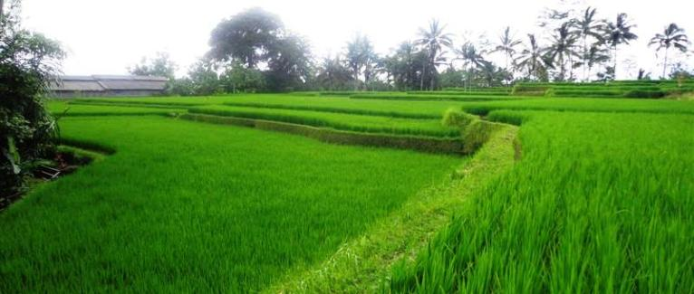 Land for sale in Ubud Bali 3,100 m2 with Mountain and rice paddy view