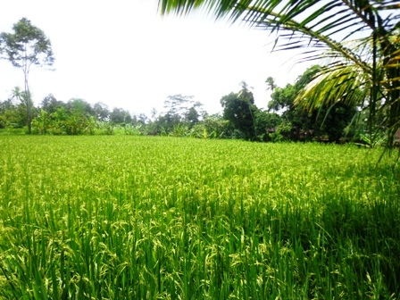 Bali Land for sale 16 Ares in Ubud Pejeng